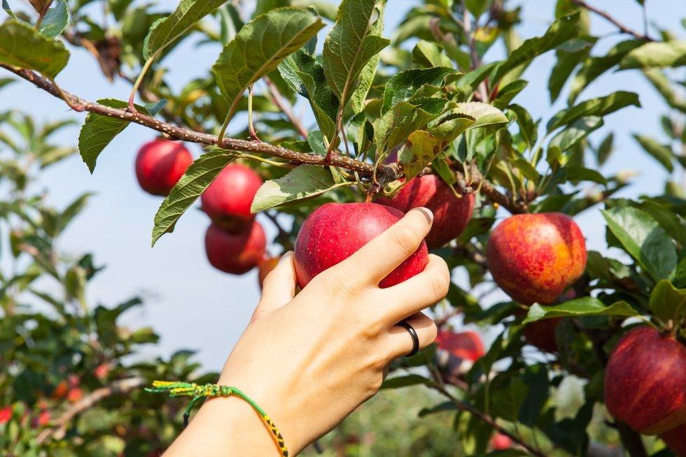 Obuoliai (nuotr. 123rf.com)
