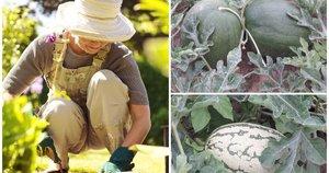 Užaugino milžiniškus arbūzus (123rf nuotr. ir asm.archyvo)