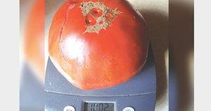 Ypatingai didelis, net 1002 gramus svėręs 'Krasnyj gigant' veislės pomidoras užaugo sodininkės iš Surviliškio miestelio Erlendos Turskienės darže. / Asmeninio archyvo nuotr