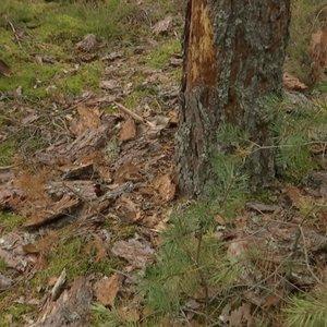Lietuvos pušynams kyla rimta grėsmė išnykti – atakuoja pavojingas kenkėjas