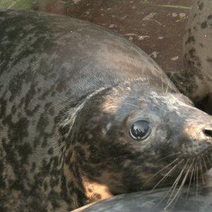 Į Baltijos bangas jūrų muziejus išleidžia rekordinį skaičių ruoniukų – jų likimo nebesužinosime