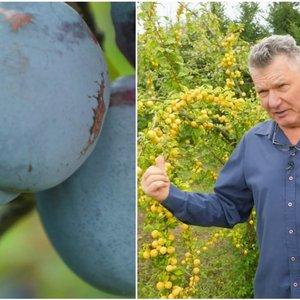 Patarė, kaip pagerinti slyvų derlių: žmonės daro šias pagrindines klaidas