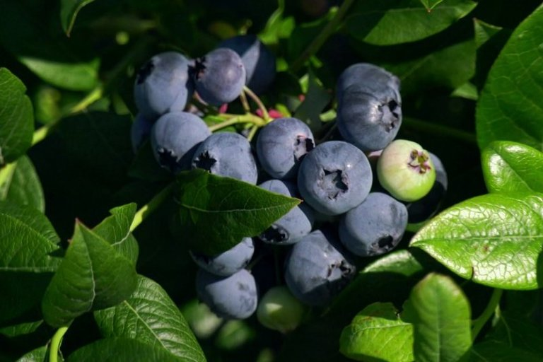 Kas laukia šilauogių augintojų Lietuvoje – ar jų ne per daug? (nuotr. TV3)