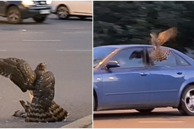 Klaipėdos centre – plėšriojo paukščio medžioklė (nuotr. stop kadras)