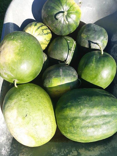 Panevėžietė augina egzotiškus vaisius: derlių tenka vežti net karučiais
