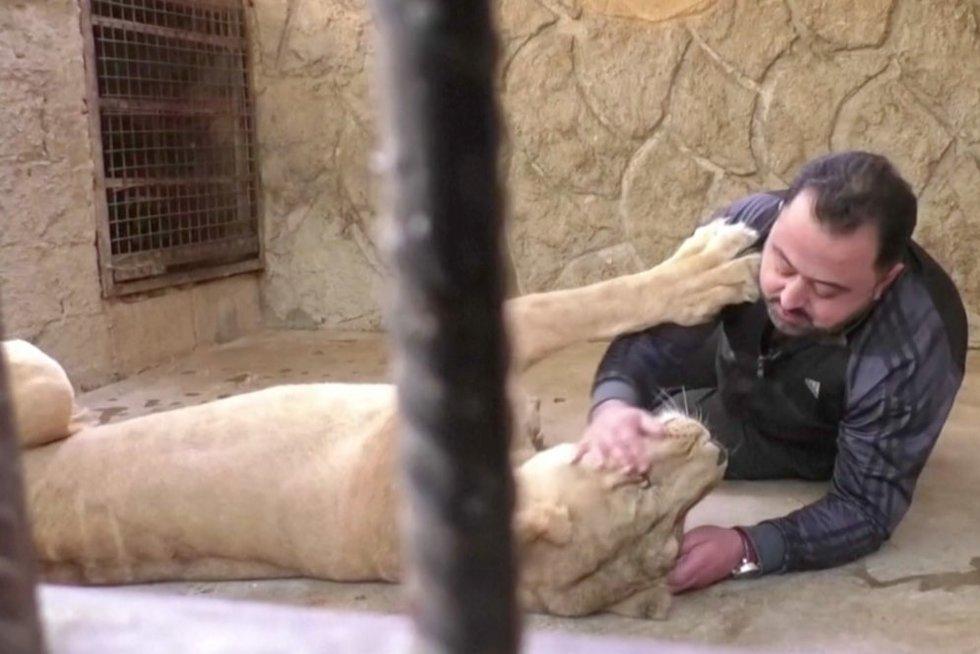 Siras ir liūtas (nuotr. stop kadras)