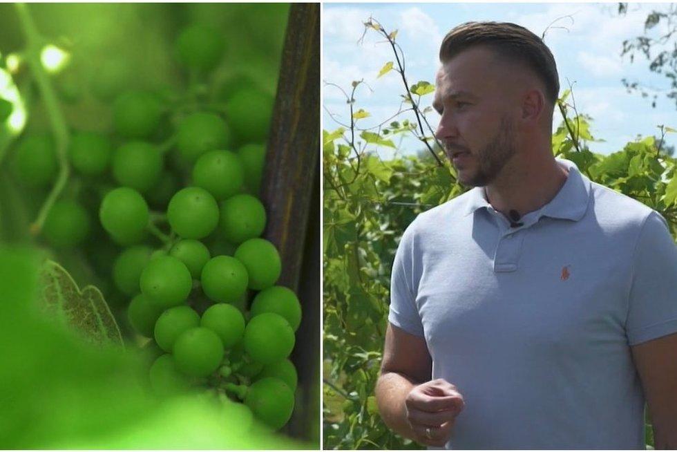 Biržietis įkūrė vynuogyną: pasakė, kokių sąlygų reikia