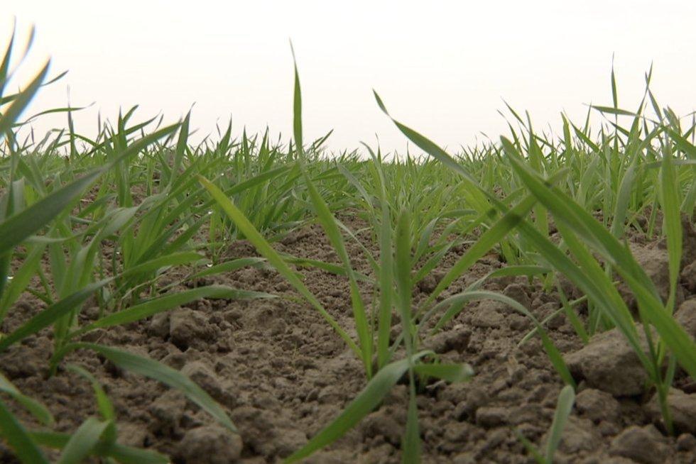 Stebisi keistu augalų elgesiu: specialistai aiškina – tai yra gynyba dėl sausros (nuotr. stop kadras)