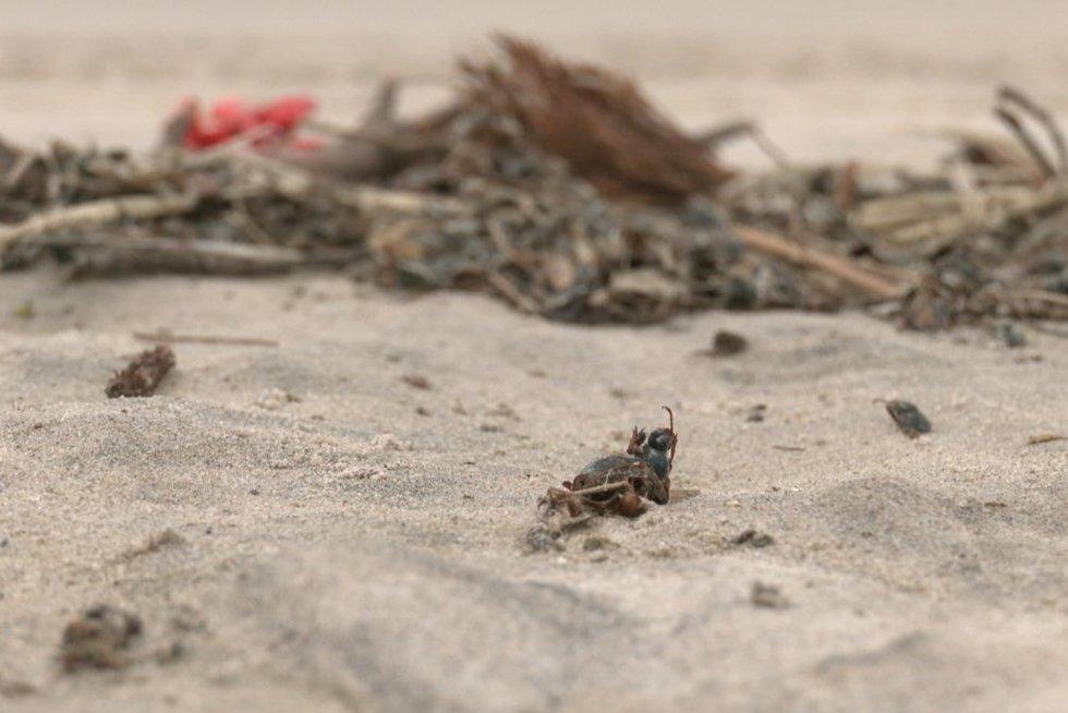 Smiltynės paplūdimius nusėjo negyvi vabzdžiai (nuotr. stop kadras)
