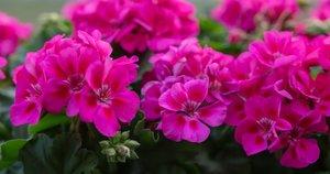 Pelargonijos (nuotr. Shutterstock.com)
