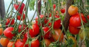 Pomidorai (nuotr. asm. archyvo)