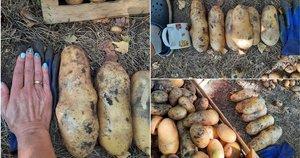 Mažeikietės darže – rankos dydžio bulvės (nuotr. asm. archyvo)
