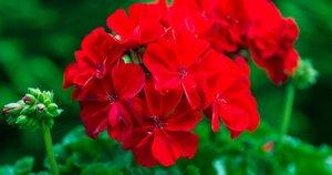 Pelargonija  (nuotr. Shutterstock.com)