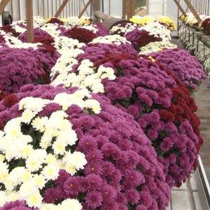 Paaiškino, kokiomis gėlėmis geriausia puošti artimųjų kapus
