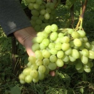 Lietuvoje populiarėja vynuogynai: orai tampa vis palankesni