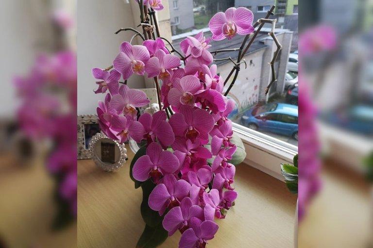 Onutės auginamos orchidėjos  (nuotr. asm. archyvo)