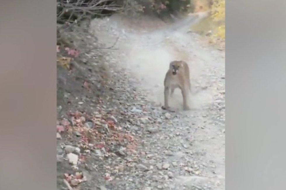 Amerikietis kalnuose užfiksavo kraupų susidūrimą su kalnų liūtu: persekiojo 6 minutes