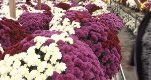 Paaiškino, kokiomis gėlėmis geriausia puošti artimųjų kapus per Šventųjų dieną (nuotr. stop kadras)