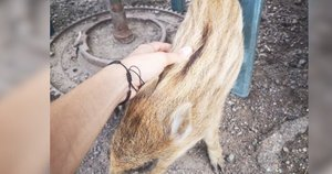 Kelis mėnesius moteris augino iš miško atklydusius šerniukus: netrukus juos atėmė aplinkosaugininkai (nuotr. stop kadras)