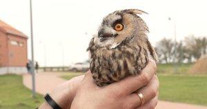 Išskirtinė diena Ventės ornitologams – į jų tinklus pakliuvo net septyni apuokai  (nuotr. stop kadras)