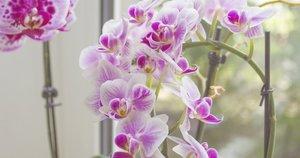 Orchidėjų žydėjimas  (nuotr. Shutterstock.com)