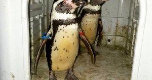 Pingvinai (nuotr. SCANPIX)