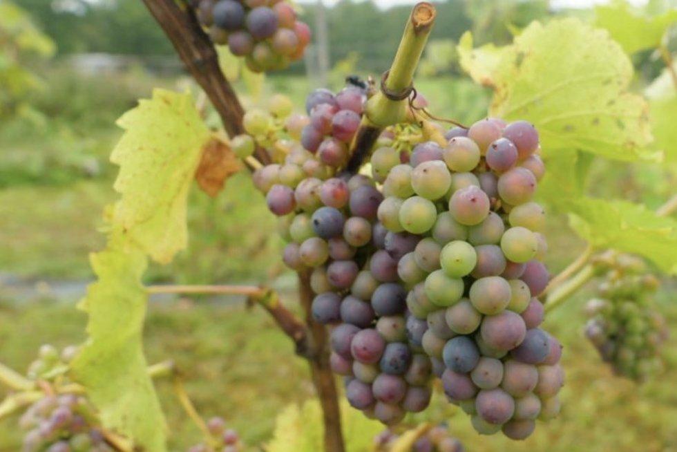 Kaip formuoti vynuoges? Parodė pagrindines taisykles pradedantiesiems