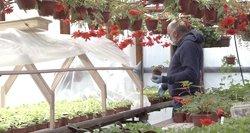 Gėlių augintojai neviltyje: žydinčius augalus siūlo už savikainą