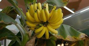 Bananai Kaune (nuotr. asm. archyvo)