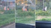 Tokios keistenybės vairuotojas nebuvo matęs: griebė kamerą, kad viską įamžintų (tv3.lt koliažas)