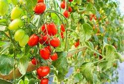 Ruošiamės pomidorų derliui: atskleidė geriausias rūšis ir tinkamiausią laiką sėjimui