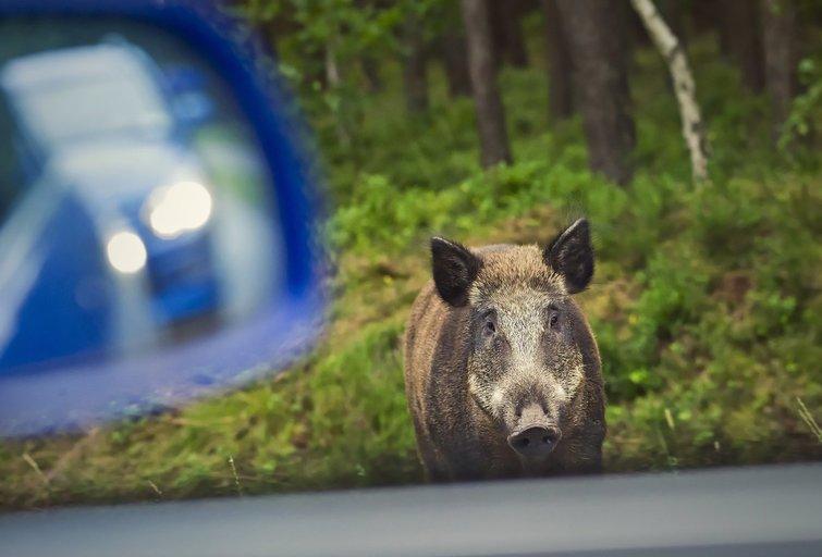 Laukinis žvėris kelyje (nuotr. Fotolia.com)