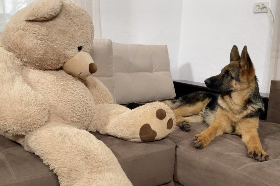 Šuns reakcija išvydus pliušinį meškina verčia iš koto: nesuprato gyvas ar ne