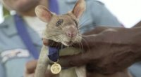 Žiurkė (nuotr. stop kadras)