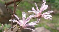 Žydinčios magnolijos (nuotr. TV3)