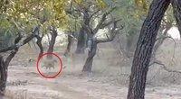 2. Liūto ir benamio šuns akistata pritrenkė daugelį: tokios atomazgos nesitikėjo