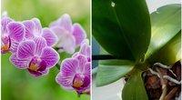 Orchidėja 123rf.com