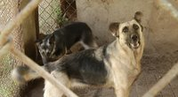 Šunų gynėjai šiurpsta nuo vaizdų: voljerai skęsta išmatose, gyvūnai neturi vandens ar maisto (nuotr. stop kadras)