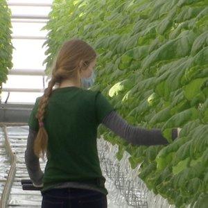 Kėdainiškiai rekordiškai anksti skina pirmuosius agurkus: juos veš į parduotuves