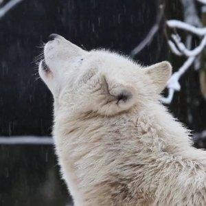 Kauno zoologijos sode – kraują stingdančios meilės serenados