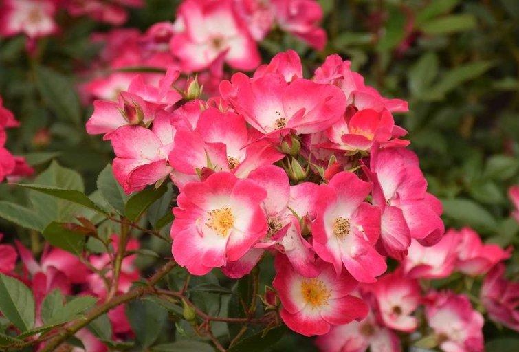 Stulbinančio grožio rožės