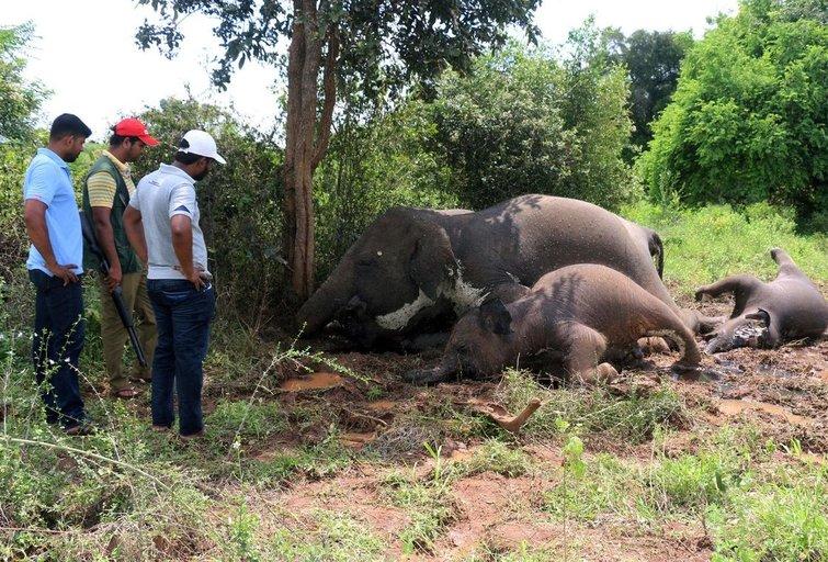 Šri Lankoje žaibas nutrenkė keturis dramblius (nuotr. SCANPIX)