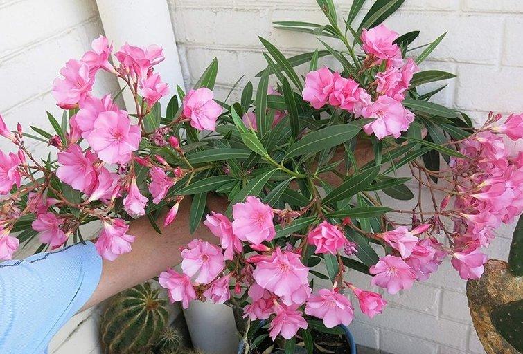 Nuodingasis gražuolis oleandras priskiriamas itin pavojingų augalų kategorijai, todėl geriausia jo neauginti