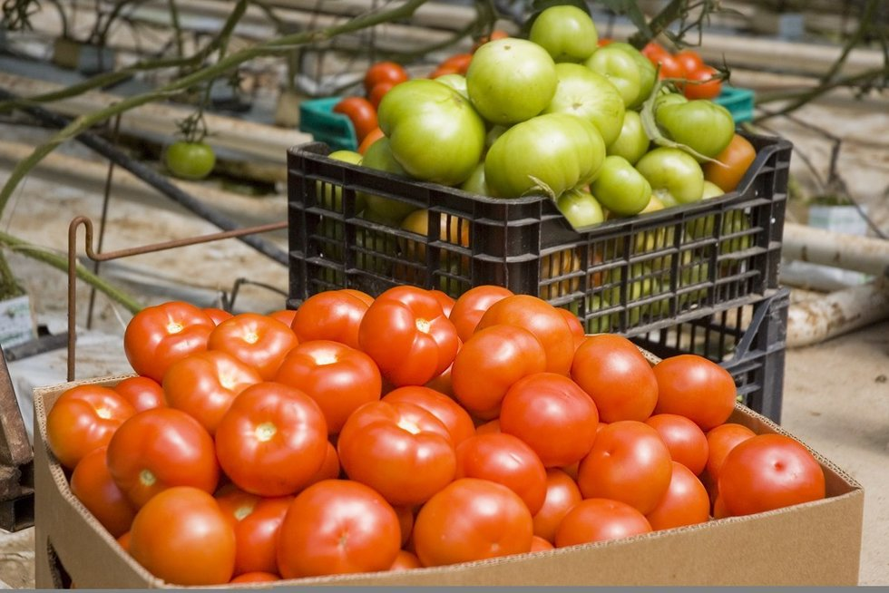Pomidorai (nuotr. Fotodiena.lt)