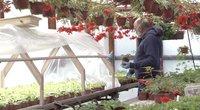 Gėlių augintojai neviltyje: gėlės žydi tūkstančiais, o kam parduoti – nėra (nuotr. stop kadras)