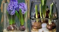 Hiacintų ir narcizų auginimas namuose (Nuotr. worldrecipes.eu)