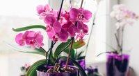 Orchidėja namuose  (nuotr. Shutterstock.com)