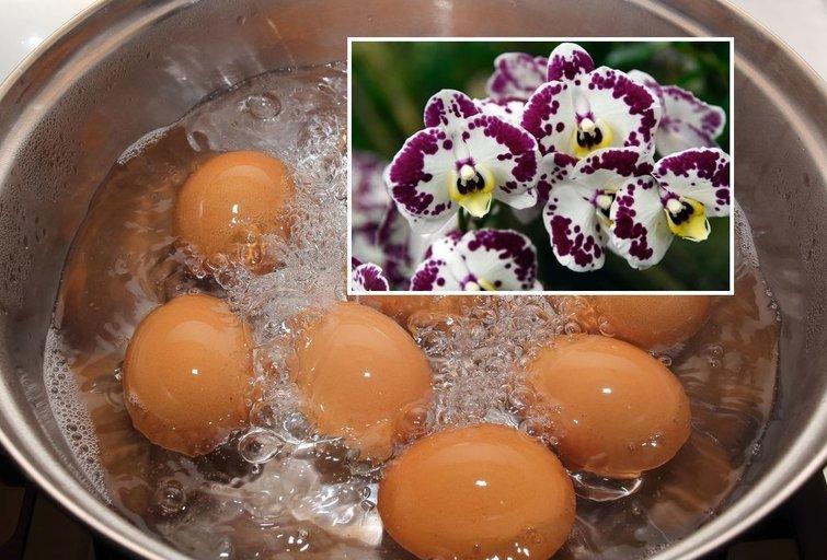 Kiaušinių nuoviras itin naudingas gėlėms  (tv3.lt fotomontažas)
