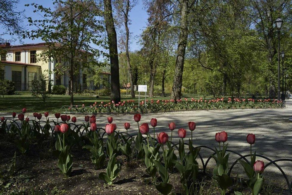 Šimtai tulpių Bernardinų sode