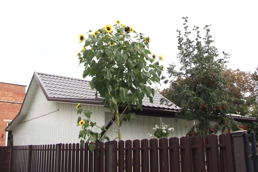 saulėfrąža (nuotr. stop kadras)